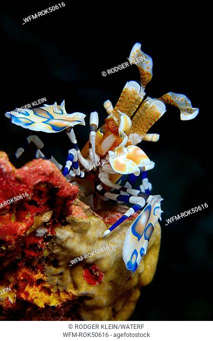 harlequin shrimp, Hymenocera elegans, Similan Islands Andaman Sea, Thailand
