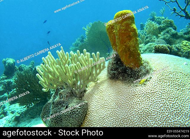 Underwater landscape, hard coral, yellow sponge, . Coral Reef, Playa Girón, Cuba