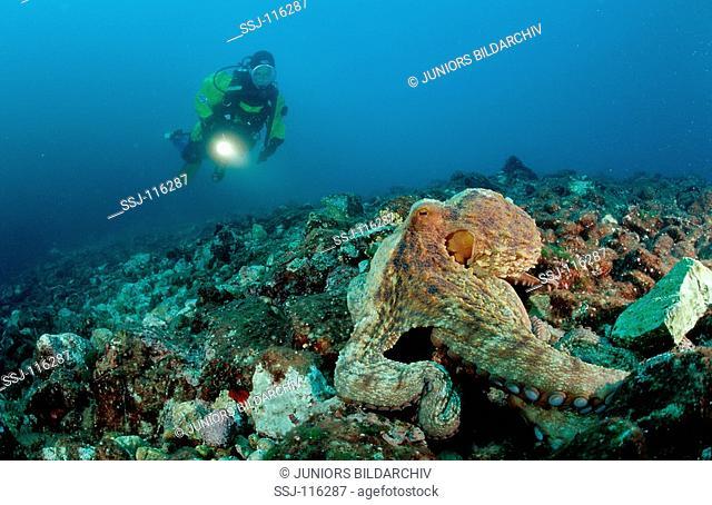 Octopus and scuba diver, Octopus vulgaris