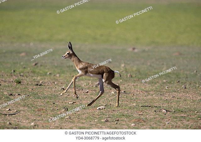 Springbok (Antidorcas marsupialis)- Lamb, Kgalagadi Transfrontier Park, Kalahari desert, South Africa/Botswana