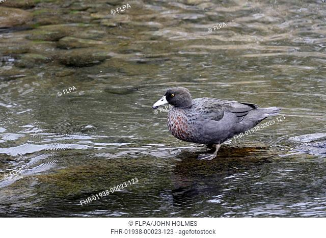 Blue Duck (Hymenolaimus malacorhynchos) adult, standing in shallow water, Tongariro River, North Island, New Zealand, March