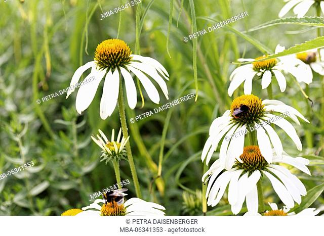 Echinacea - a medicinal plant with health potential