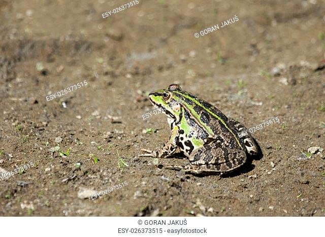 An edible green frog standing on ground