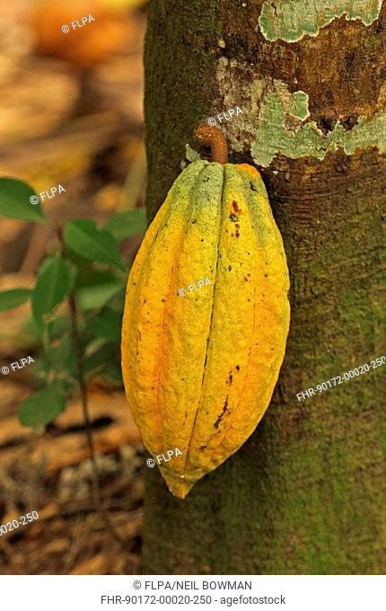 Cocoa (Theobroma cacao) crop, close-up of pod, growing on tree, Fond Doux Plantation, St. Lucia, Windward Islands, Lesser Antilles, November