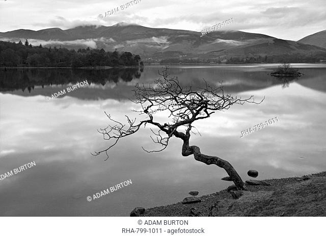 Lone tree stretching over Derwent Water, Lake District National Park, Cumbria, England, United Kingdom, Europe