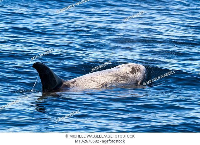 Rissos Dolphin in the Santa Barbara Channel, Ventura, California, USA