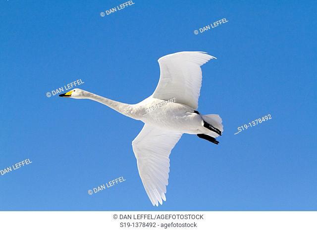Whooper Swan, Lake Kushiro, Hokkaido, Japan