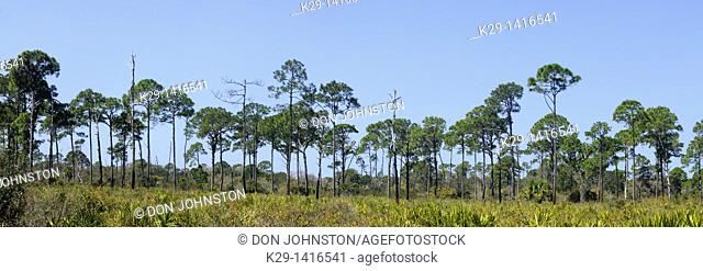 Pine trees and palmettos in pine flatwoods ecosystem Oscar Schere State Park Florida