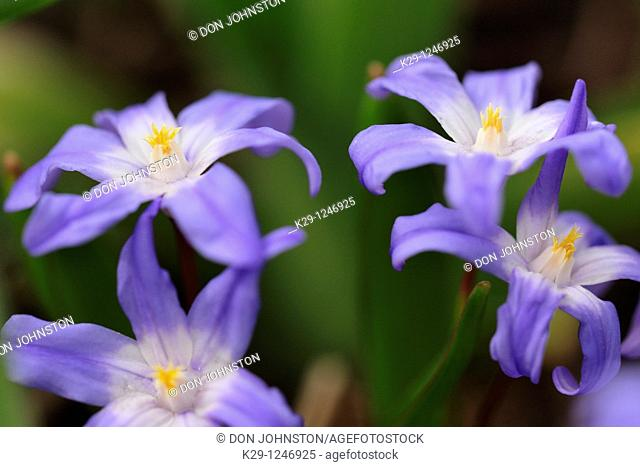 Chionodoxa forbesii (formerly luciliae) 'Glory of the Snow'