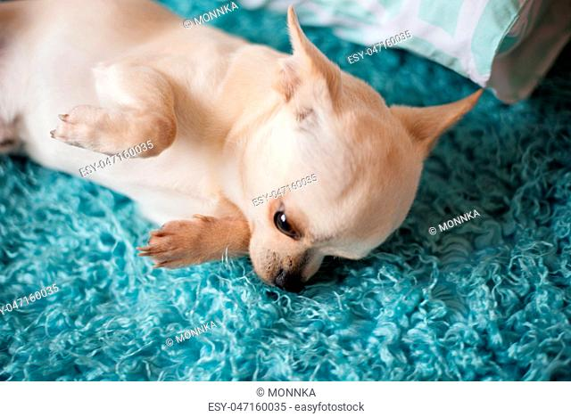 White chihuahua dog lying on a turquoise blue carpet, at home