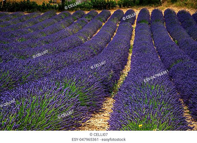 Panoramic view of lavender flowers fields under sunny blue sky, near the village of Valensole. Located in the Alpes-de-Haute-Provence department