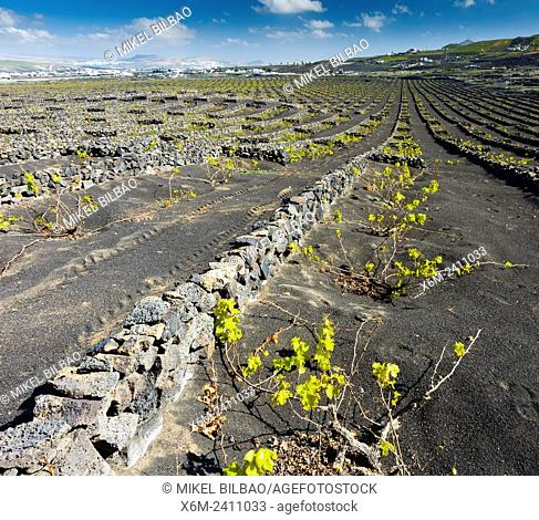 El Grifo vineyard. San Bartolome, Lanzarote, Canary Islands, Spain, Europe
