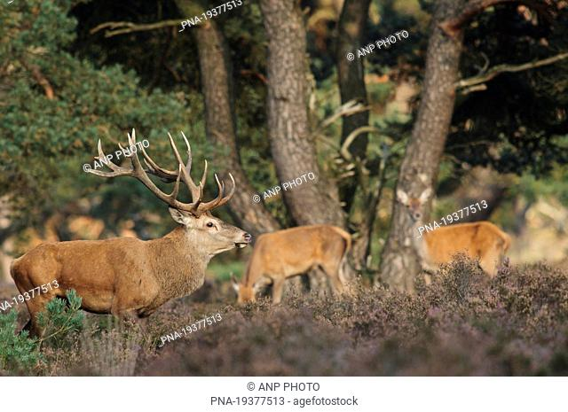 Red Deer Cervus elaphus - National Park De Hoge Veluwe, Otterlo, Gelderland, Guelders, The Netherlands, Holland, Europe