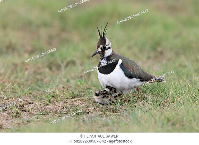 Northern Lapwing (Vanellus vanellus) adult female, sheltering chick under body, on grazing marsh, Suffolk, England, May