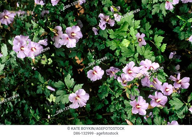 Rose of Sharon (Hibiscus syriacus 'Purpureus variegatus'). China / India