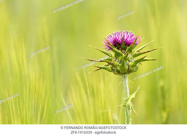 Milk Thistle plant growing in a cereal field, at Serpa-Portugal