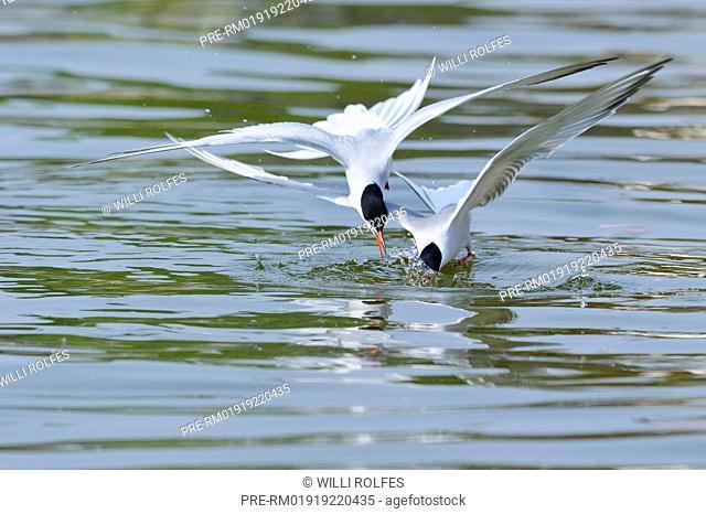 Common Terns, Sterna hirundo, North Sea, Wilhelmshaven, Lower Saxony, Germany / Fluss-Seeschwalben, Sterna hirundo, Nordsee, Wilhelmshaven, Niedersachsen