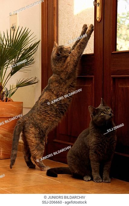 Domestic cat . Two cats next to a door, trying to get out. Spain