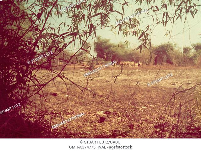 A herd of cattle and a farmer, the image was captured from a wooded area at the edge of an open field, Vietnam, 1968