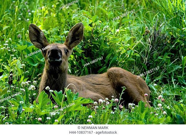 Moose, Alces alces, Kinkaid Park, animal, Anchorage, Alaska, USA, America, United States, North America, one, calf, ba