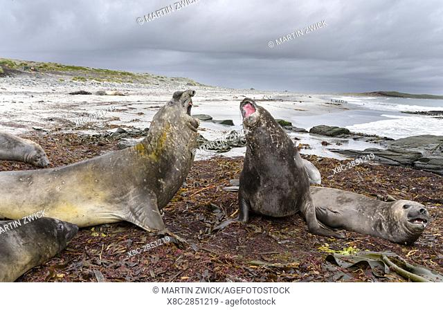 Southern elephant seal (Mirounga leonina), male, after breeding period on the Falkland Islands, half grown bulls fighting for training and to establish pecking...