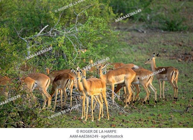 Impala (Aepyceros melampus melampus) herd in veld. Mashatu Game Reserve. Northern Tuli Game Reserve. Botswana