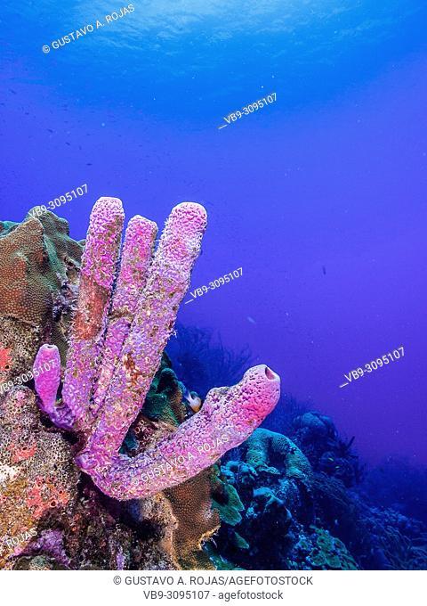 Aplysina fistularis los roques - venezuela blue Tube Sponge