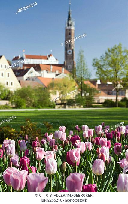 Tulips, Martinskirche, St. Martin's Church and Burg Trausnitz Castle, Landshut, Bavaria, Germany, Europe