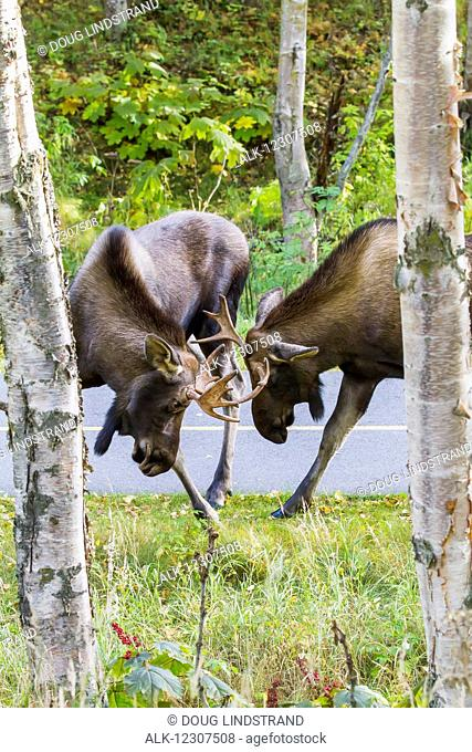 A pair of young bull moose spar along a bike trail in Kincaid Park, Anchorage, Southcentral Alaska, USA