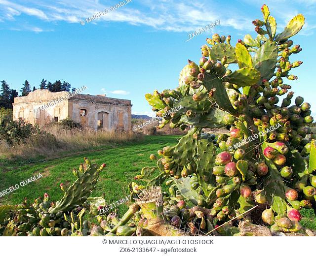 Cactus Indian fig fruits (Opuntia ficus-indica) at Sant Carles de la Rapita village countryside. Montsia Region, Ebro River Delta Natural Park