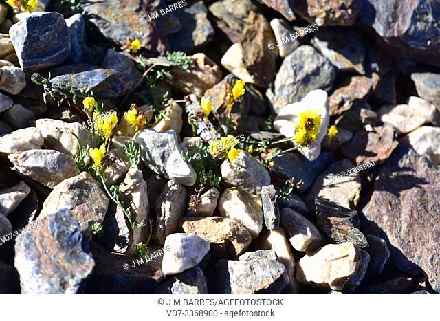 Espuelilla (Linaria aeruginea nevadensis) is a subspecies endemic to Sierra Nevada. This photo was taken in Sierra Nevada National Park, Granada province