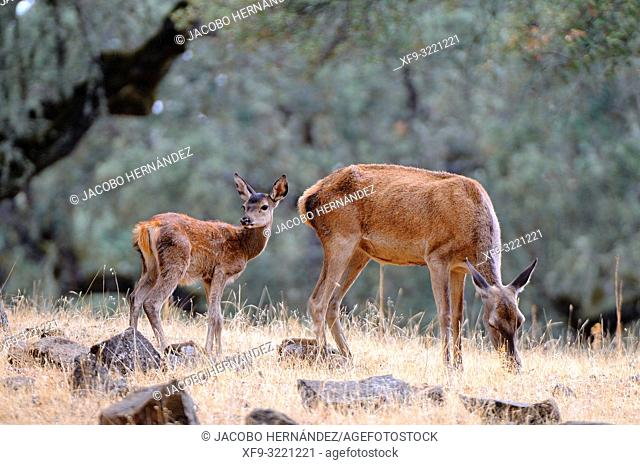Red Deer (Cervus elaphus) female and calf. Sierra de San Pedro Natural Reserve. Badajoz province. Extremadura. Spain