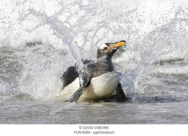 A gentoo penguin Pygoscelis papua crashing through the waves as it comes ashore