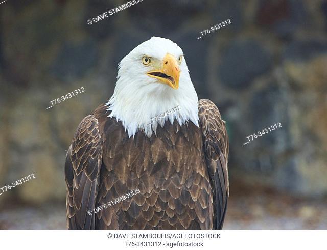 Rescued bald eagle (Haliaeetus leucocephalus), Parque Condor, Otavalo, Ecuador