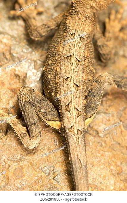 Fan throated lizard, Sitana sp. , Bhoramdeo Wildlife Sanctuary, Chhattisgarh. Small agamid lizards. Males possess a dewlap which they use to diplay during...