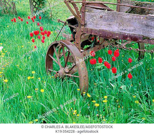 Tulip (Tulipa) and old farm wagon. Skagit Valley. Skagit County. Washington. USA