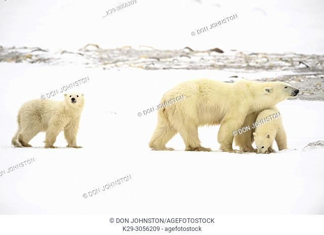 Polar Bear (Ursus maritimus) Yearling cubs and mother near Hudson Bay coast, Wapusk NP, Cape Churchill, Manitoba, Canada