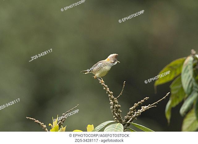 Whiskered Yuhina, Yuhina flavicollis, Mishmi Hills, Arunachal Pradesh, India