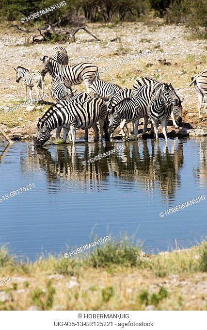 Zebras Drinking Water Ar Waterhole