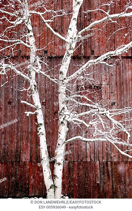 Snow covered birch tree in front of a weathered red barn, Stowe, Vermont, USA