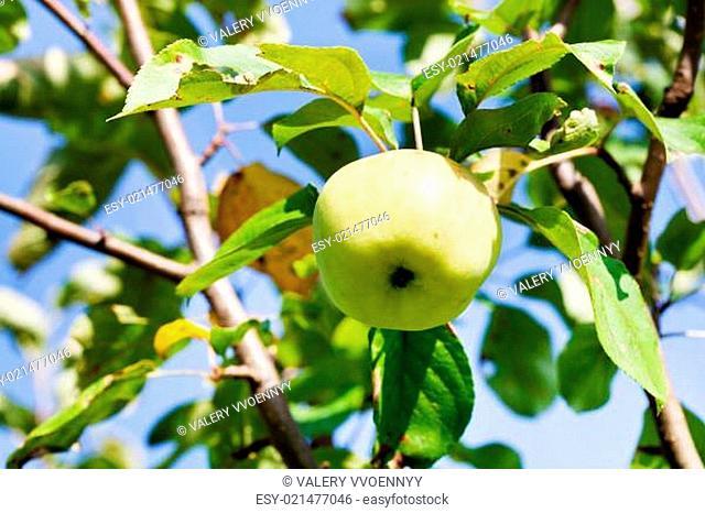 ripe green apple