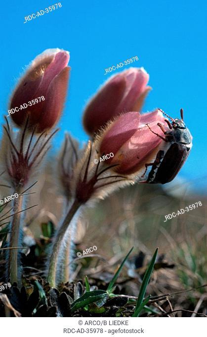Maybug and Pale Pasque Flower Switzerland Melolontha spec Pulsatilla vernalis alps