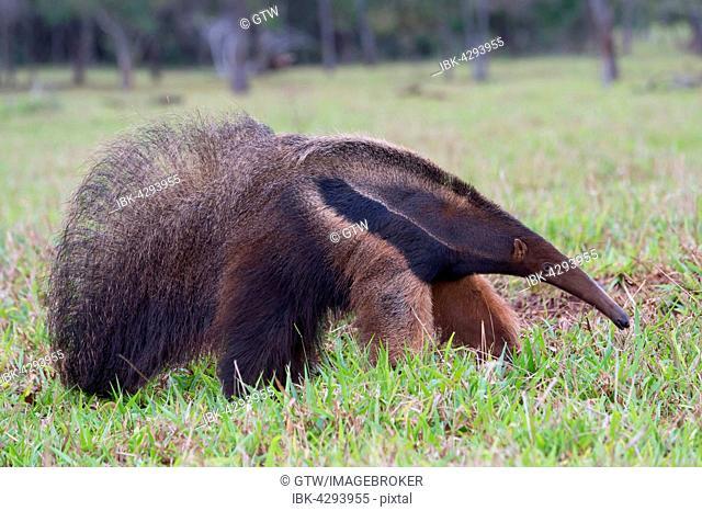 Giant Anteater (Myrmecophaga tridactyla) foraging, Mato Grosso, Brazil