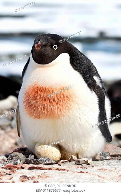 female Adelie penguin that incubates in a simple nest two eggs