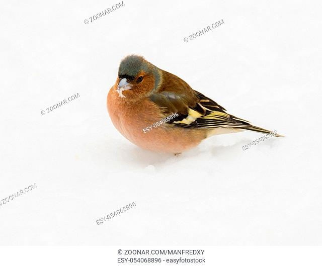 Male chaffinch bird standing in the snow