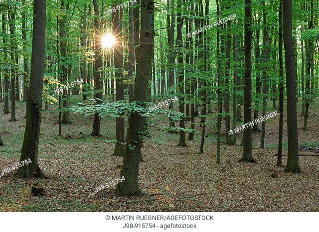 Spring forest with sun at backlight, lensflare  Mecklenburg-Western Pomerania, Germany, Europe