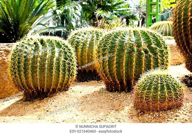 Giant cactus in Nong Nooch Tropical Botanical Garden, Pattaya, Thailand