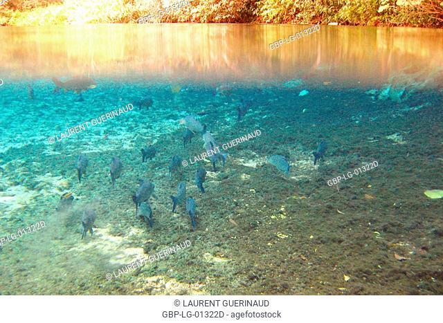 Pisces, Curimbatá, Prochilodus lineatus, Bonito, Mato Grosso do Sul, Brazil