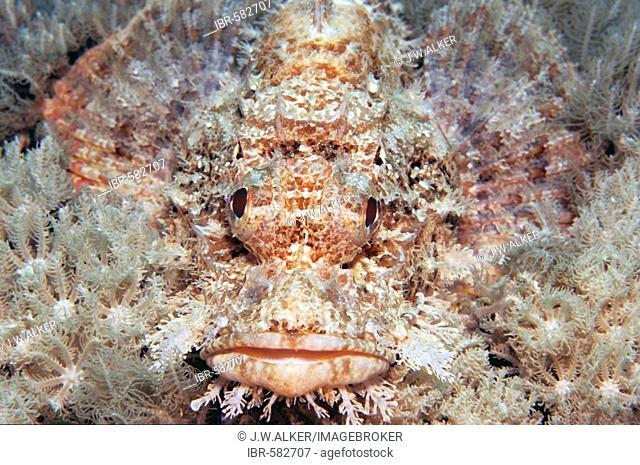 Bearded scorpionfish, Scorpaenopsis barbatus, Maldives