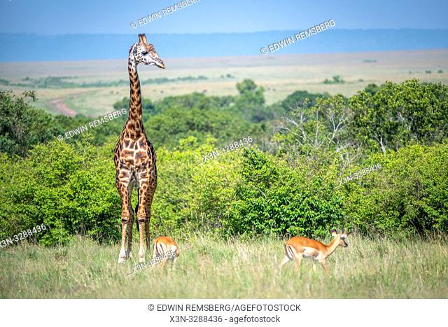 Masai giraffe (Giraffa camelopardalis tippelskirchii) in the grass in Maasai Mara National Reserve, Kenya